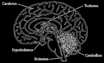 The Hypothalamus | ThinkFirst